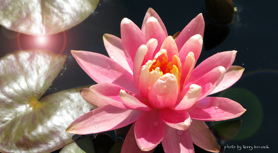 sparkling lotus by terry boswell
